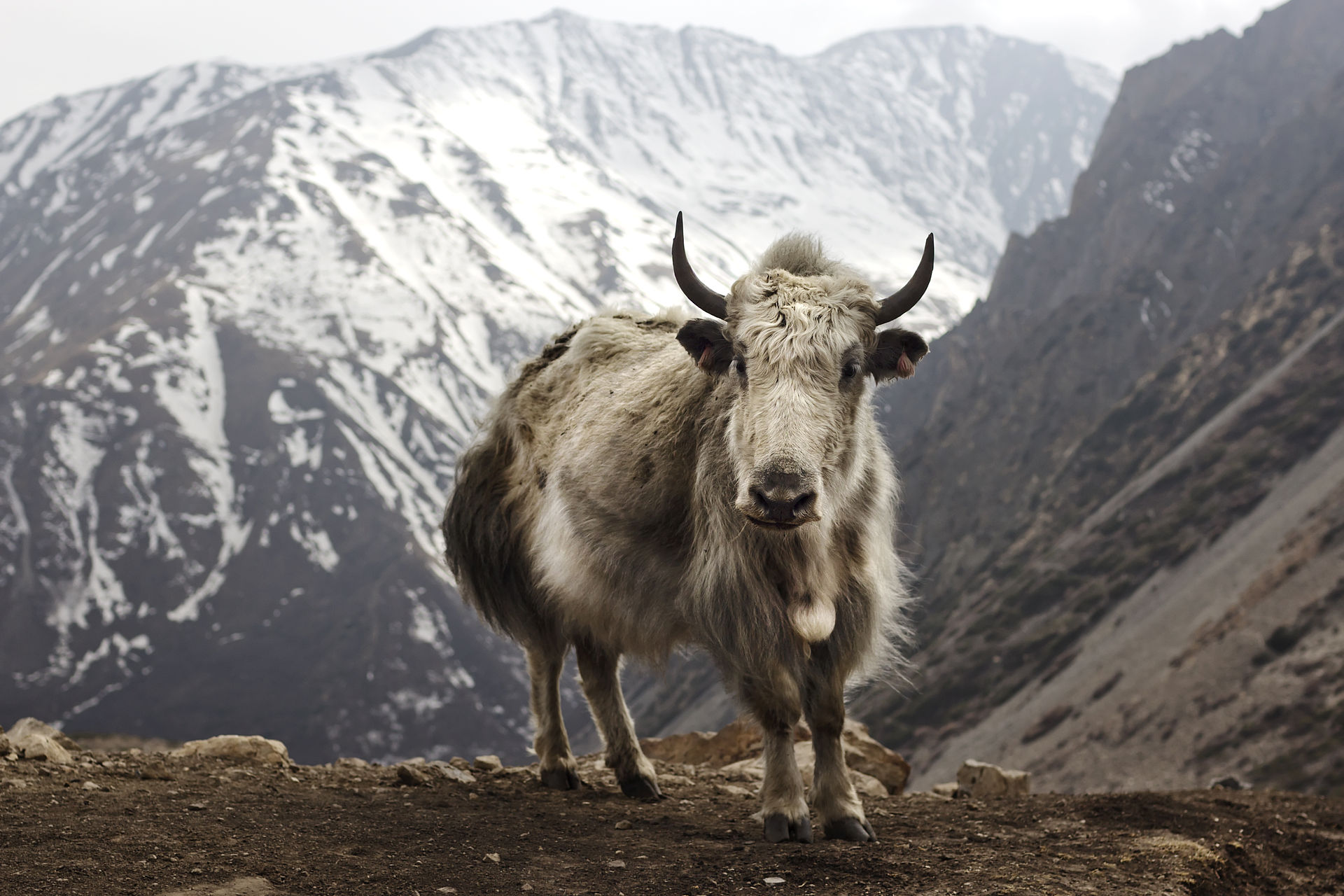 Yak by travelwayoflife - Flickr, CC BY-SA 2.0